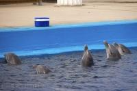 Five Bottlenose Dolphins at the L'Oceanografic in Valencia, Spain linger around the cooler on the side of the pool as they know what lurks inside.