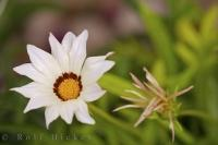 Two White Gazania, one in full bloom and the other in an in between stage in Oliva, Valencia in Spain.