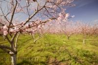 Orchards in spring are magical with many flowering tree varieties and colors.