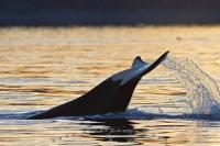 An excited orca whale, aka killer whale, lifts it's tail fluke out of the water and slaps the surface in a playful display during sunset.