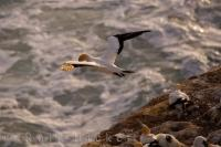 Flying Gannet Muriwai Beach New Zealand
