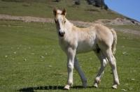 A cute creamy coloured foal roams freely at Port de la Bonaigua in Catalonia, Spain.