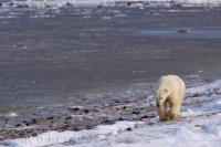 Walking along the icy shoreline of the Hudson Bay in Churchill, Manitoba, a Polar Bear is foraging for a meal.