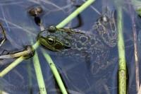 The Mink Frog is one of seven species of frogs found in the Kejimkujik National Park of Nova Scotia, this frog was found bathing in the Mersey River.