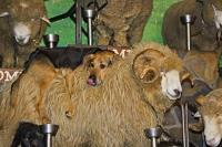A funny end to a show at the Agrodome in Rotorua on New Zealand's North Island, the farmer brings in a farm dog who jumps on the back of the sheep.