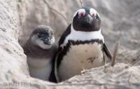 These two Funny Penguins, a mother and baby penguin, posed for some great pictures at Boulders Beach, South Africa.