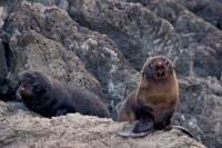 Fur Seal Pups Cape Palliser New Zealand