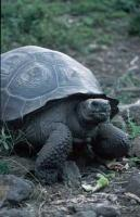Photo of the Galapagos Giant Tortoise which belongs to the list of endangered animals.