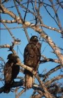 Two Galapagos Hawks sitting in a tree