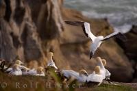A colony of Gannets gather at Muriwai Beach, which is situated on the West Coast of the North Island near Auckland, New Zealand. The Gannet is a species of seabird found along the coast of New Zealand and lives in colonies.