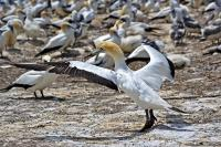 An Australasian Gannet spreads its wings in preparation for take off from the Cape Kidnappers gannet colony in the Hawke Bay region of New Zealand.