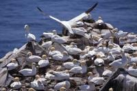 A colony of Northern Gannets at Cape St Mary's Ecological Reserve on the Avalon Peninsula of Newfoundland, Canada.