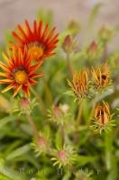 Fiesta Red Gazania Flower Plant Picture