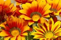 Gazania Flowers Spain