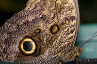 Victoria Butterfly Gardens in Victoria, Canada is the ideal place for tourists to get a close look at a Giant Owl Butterfly.