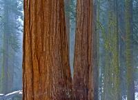 Giant sequoias, of the Redwood tree species, are said to be the largest trees in the world by volume. The forest of Sequoia National Park is home to some of the largest sequoia trees.
