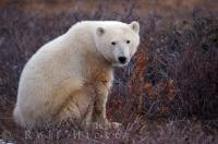 A true symbol of global warming is the majestic polar bear, which inhabits the polar regions of the world and Hudson Bay in Manitoba, Canada.