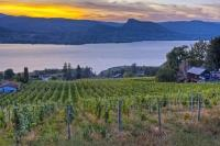 As the sun settles to the west, the clouds are lit up and glowing above Okanagan Lake and rows of grapevines in Naramata.