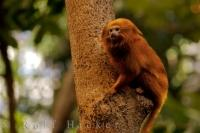 A cute Golden Lion Tamarin clings to a tree in the Tropical Forest at the Biodome de Montreal in Montreal, Quebec in Canada.
