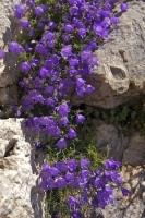 Purple flowers adorn the wall of a building in the village of Gourdon in France, Europe.