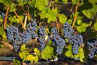 These red grapes grow in huge appetizing clusters at an Okanagan vineyard in BC. These grapevines are growing in the sun along Highway 3, also known as the Crowsnest Highway in the Similkameen River Valley; a popular area for wine production.
