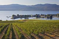 Rows of grapevines seem to stretch down to the waters edge of the beautiful scenic Okanagan Lake in British Columbia, Canada. This view of the lake is from its western shores.