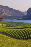 Row upon row of grapevines carpet the rolling hills surrounded by the rugged craggy mountains near Vaseux Lake in the beautiful Okanagan Valley of British Columbia, Canada.