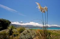 Toi Toi grass plants are beautiful as they sway in the wind that blows across the Kaikoura beach in the Canterbury region on the South Island of New Zealand.