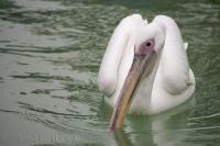 The pure white plumage of the Great White Pelican and bare pink facial patch set it apart from other white pelican species.