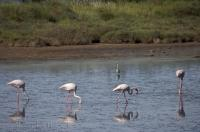 Greater flamingos wade in the water in Parc Naturel Regional de Camargue in the Provence, France in Europe.