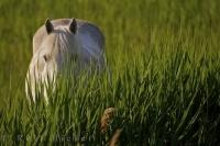A Camargue Horse, proper name Equus caballus, hides its head down in the grass in the Plaine de la Camargue in the Parc Naturel Regional de Camargue, in the gorgeous Bouches du Rhone region of Provence in France.