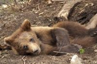 Grizzly Bear Baby