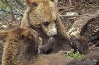 A couple of cute Grizzly Bear cubs playing contently with each other in British Columbia, Canada.