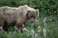 A grizzly bear in Denali National Park in Alaska is sniffing some fresh flowers in spring.