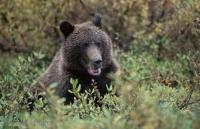 A cute, healthy looking grizzly bear grazes on bushes in Denali National Park of Alaska.