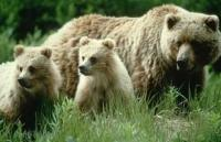A grizzly mum and her baby bears come out of their winter den in the spring.