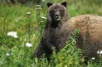 A Grizzly Bear Cub is hiding behind Mom while looking at the photographer