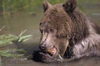 A grizzly bear chews on a piece of bark while bathing in a river in Denali National Park of Alaska in the USA.