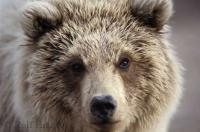 Young Bear Portrait Grizzly Bears