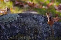 Capturing this picture was the luck of the draw as two Golden Mantled Ground Squirrels peer over a rock in Parc Omega in Montebello, Quebec.