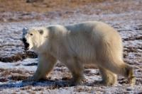 A growling Polar Bear wards off any unwanted guests near Camp Nanuq along the Hudson Bay in the Churchill Wildlife Management Area in Churchill, Manitoba.