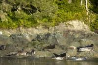 Harbor Seals are resting on a rock outside of Telegraph Cove.
