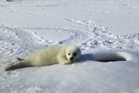 Harp Seal Pup Waiting for Mother