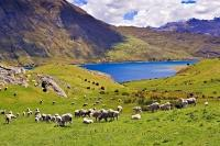 A peaceful setting of grazing sheep on the shores of Lake Hawea in the Southern Lakes District on the South Island of New Zealand.