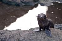 A helpless baby New Zealand Fur Seal at the Cape Palliser Seal Colony on the North Island of New Zealand waits patiently for the return of its mother.