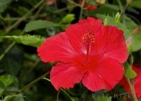 The Hibiscus is a showy flower which is reminiscent of a tropical island in the South Pacific.