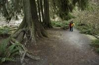 A couple are dwarfed by the towering trees in the Hoh Rain Forest in the Olympic National Park of Washington, USA.