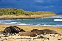 A small group of Hooker's Sea Lions - a male and two females lie on a beach in the Southland region of New Zealand. These sea animals are the most endangered of all sea lions.