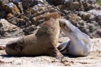 A pair of Hookers Sealions interact on the beach in Molyneux Bay on the South Island of New Zealand.