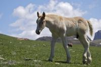 A foal wanders a few steps away from its mother while full grown adults graze in the background at Bonaigua Pass in the Pyrenees in Catalonia, Spain.